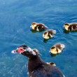 Duck and Baby Ducklings in the Water, Split, Croatia - Stock Photo