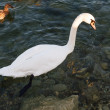 Stock Photo: beautiful swan gliding on transparent water surface of garda lak