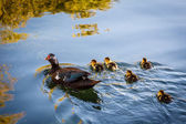 Duck and Baby Ducklings in the Water, Split, Croatia — Stock Photo