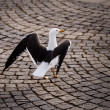 Graceful Seagull Walking on Stockholm Cobbled Street, Sweden — Stock fotografie