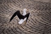 Graceful Seagull Walking on Stockholm Cobbled Street, Sweden — Stock Photo
