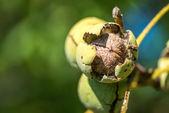 Walnuts on the tree — Stock Photo