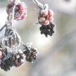 Stock Video: Frozen Raspberries with Ice Crystals in the Morning Breeze