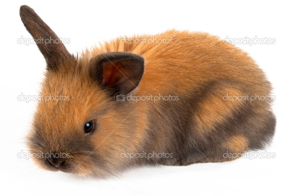Brown rabbit on a white background — Stock Photo #12500556