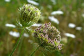 Daucus carota in bloom. — Stock Photo