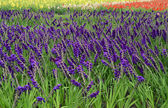 Feld mit gladiole blüte. — Stockfoto