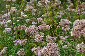 Valerian flowers. — Stock Photo