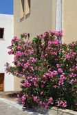 Pink Oleander in Koutouloufari. — Stock Photo
