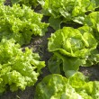 Lettuces in the organic vegetable garden. — Stock Photo
