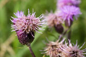 Thistle in bloom. — Stock Photo