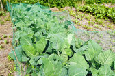 Cabbage in the organic vegetable garden. — Stock Photo