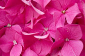 Blooming pink Hydrangea. — Stock Photo