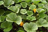 Pumpkin plants in the organic vegetable garden. — Stock Photo