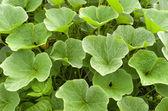 Pumpkin plants in the organic vegetable garden. — Stock Photo
