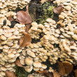 Hypholoma fasciculare mushrooms. — Stock Photo