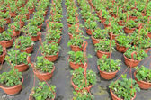 Strawberry plants  at the wholesale. — Stock Photo