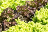 Lettuces. — Stock Photo