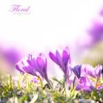 Crocus Spring Flowers — Stock Photo