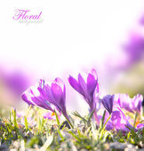 Crocus Spring Flowers — 图库照片