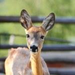 Young roe deer doe — Stock Photo