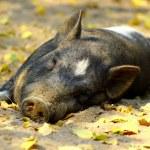 Lazy pig — Stock Photo #12426904