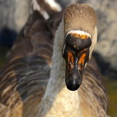 Beak og a great gander — Stock Photo