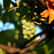 White grapes — Foto Stock #12650814