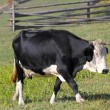 Holstein in meadow — Stock Photo