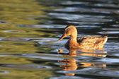 Mallard duck swimming — Stock Photo