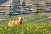 Cow laid in the grass — Stock Photo