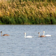 Stock Photo: Family of swans