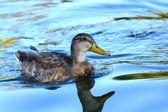 Mallard duck on blue water — Stock Photo