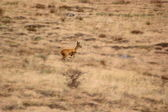 Running deer in the field - motion blur — Stock Photo
