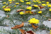 Yellow chrysanthemum on a grave — Foto de Stock