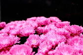 Bouquet of pink chrysanthemum — Stock Photo