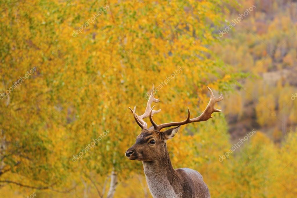 Fallow Deer Stag Stock Photos and Images  alamycom
