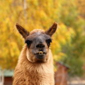 Llama over autumn background — Stock Photo
