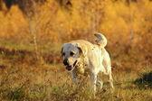 Perro de caza en el bosque — Foto de Stock