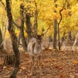 Fallow deer in the forest — Stock Photo