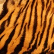 Textured tiger fur — Stock Photo