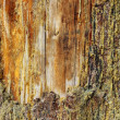 Stock Photo: Old scar on spruce