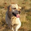 Labrador retriever in the field — Stock Photo