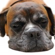 Sleeping boxer — Stock Photo