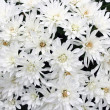 White mums bouquet — Stock Photo