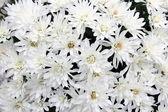 White mums bouquet — Stock Photo