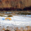 Stock Photo: Fox following rabbit track