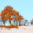 Oak tree in winter — Stock Photo