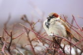 Sparrow in a cold winter day — Stock Photo