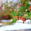 Stock Photo: Common holly berries
