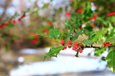 Common holly berries — Stock Photo